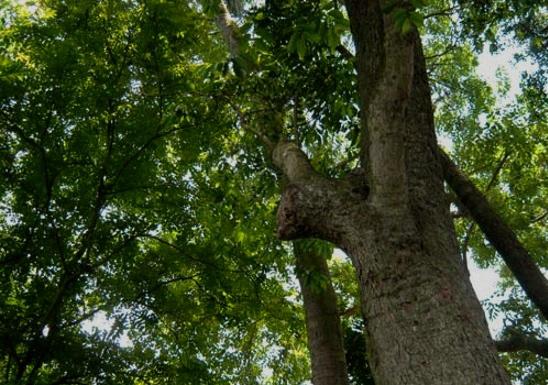 Gỗ hương là gỗ gì?